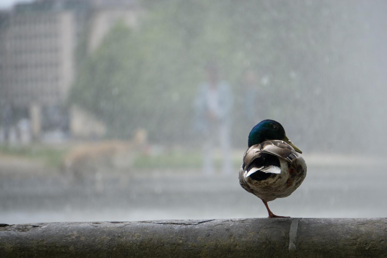 BRUSSELS: A duck relaxes at Parc De Bruxelles